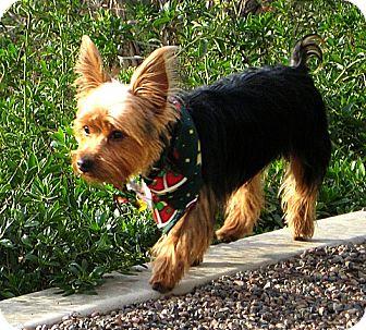Yorkie, Yorkshire Terrier Dog for adoption in Vista, California - Bungee