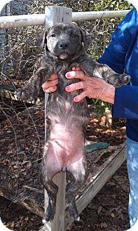 Bulldog/Terrier (Unknown Type, Medium) Mix Puppy for adoption in Fort Valley, Georgia - PJ