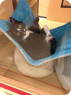 Domestic Shorthair Cat for adoption in Monroe, Georgia - Pickamee