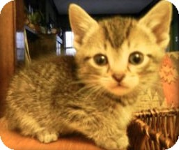 Domestic Mediumhair Kitten for adoption in Hainesville, Illinois - Luca