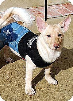 Pomeranian/Terrier (Unknown Type, Medium) Mix Dog for adoption in Irvine, California - Archie