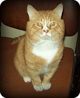 Domestic Shorthair Cat for adoption in White Cloud, Michigan - Waldo