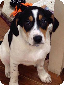 Blue Heeler/Coonhound Mix Puppy for adoption in Lexington, Kentucky - Boyd