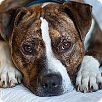 Adopt A Pet :: Roscoe - Reisterstown, MD
