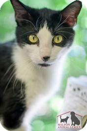 Domestic Shorthair Cat for adoption in Milton, Massachusetts - Pretzel