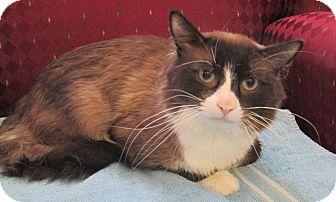 Snowshoe Cat for adoption in Lloydminster, Alberta - Tucker