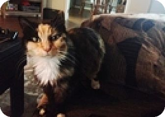 Domestic Mediumhair Cat for adoption in Vancouver, British Columbia - Peggy