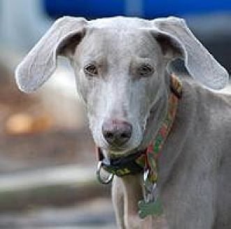 Weimaraner Dog for adoption in Birmingham, Alabama - Priscilla