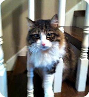 Domestic Longhair Cat for adoption in THORNHILL, Ontario - Meredith