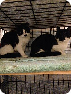 American Shorthair Cat for adoption in Brooklyn, New York - Tom and Jerry