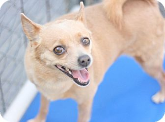 Terrier (Unknown Type, Small) Mix Dog for adoption in Canoga Park, California - Cricket