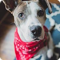 American Pit Bull Terrier Mix Dog for adoption in Eden Prairie, Minnesota - Tenley D161022