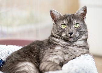 Domestic Shorthair Cat for adoption in Montclair, California - Brea