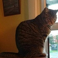 Domestic Shorthair Cat for adoption in Carlisle, Pennsylvania - TwinCP