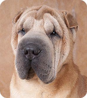 Shar Pei Dog for adoption in Chicago, Illinois - Blade
