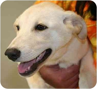 Labrador Retriever Mix Puppy for adoption in Cumming, Georgia - Maya