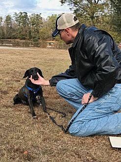 Labrador Retriever/Beagle Mix Dog for adoption in Gainesville, Virginia - Felicity