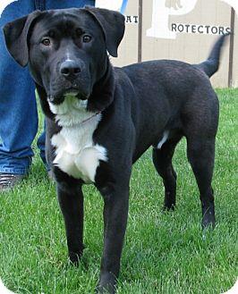 Labrador Retriever Mix Dog for adoption in New Kensington, Pennsylvania - Buzz