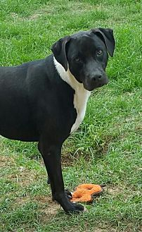 Labrador Retriever Mix Dog for adoption in Shreveport, Louisiana - Ruler