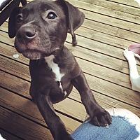 Adopt A Pet :: Wren - Troy, MI