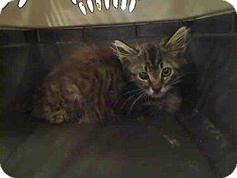 Domestic Mediumhair Kitten for adoption in Rancho Cucamonga, California - PIRATE