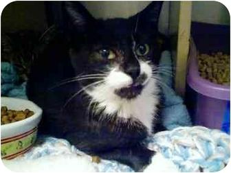 Domestic Shorthair Kitten for adoption in Fort Lauderdale, Florida - Sambucca