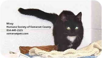 Domestic Shorthair Cat for adoption in Somerset, Pennsylvania - Missy