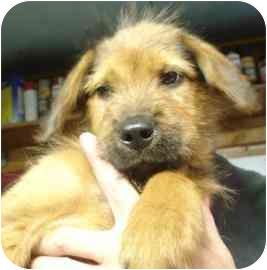 Terrier (Unknown Type, Medium) Mix Puppy for adoption in Old Bridge, New Jersey - Chandler