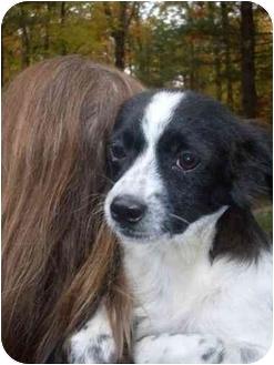 Shih Tzu/Spaniel (Unknown Type) Mix Puppy for adoption in Foster, Rhode Island - Skippy