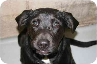 Labrador Retriever Mix Dog for adoption in Broadway, New Jersey - Luke
