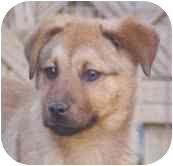 Shepherd (Unknown Type) Mix Puppy for adoption in Portland, Maine - Little Man