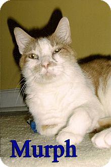 Domestic Shorthair Cat for adoption in Medway, Massachusetts - Murph