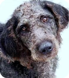 """Labradoodle Dog for adoption in Wakefield, Rhode Island - LOUIS( OUR """"LABRADOODLE""""!! WOW"""