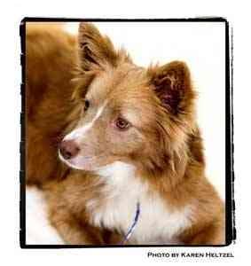 Australian Shepherd Mix Dog for adoption in Warren, Pennsylvania - Honey