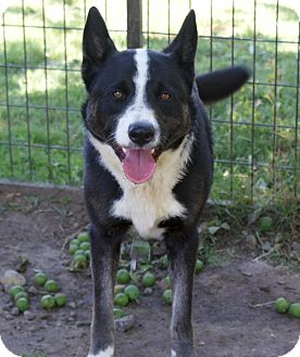 Border Collie Mix Dog for adoption in Yuba City, California - 04/20 Frisco