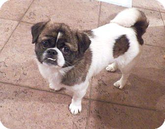 Pekingese/Pug Mix Dog for adoption in Mary Esther, Florida - Archie