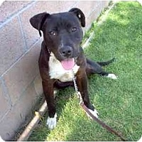 Labrador Retriever/American Pit Bull Terrier Mix Dog for adoption in West Los Angeles, California - Jorja Brown