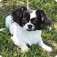 Adopt A Pet :: *Wrigley - PENDING - Westport, CT