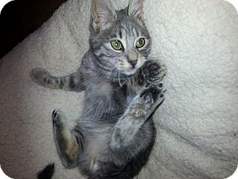 Domestic Shorthair Kitten for adoption in South Windsor, Connecticut - Winston