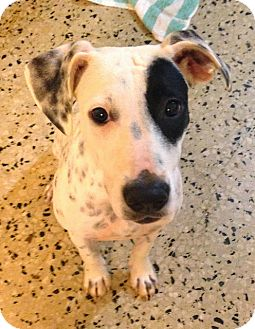 Dalmatian Mix Puppy for adoption in Hammonton, New Jersey - Joan