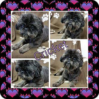 Shih Tzu Mix Dog for adoption in Urbana, Ohio - Cricket