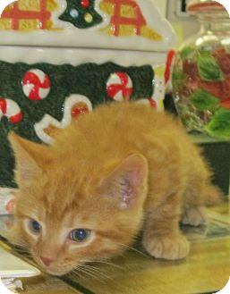 Domestic Shorthair Kitten for adoption in Manning, South Carolina - Garfield