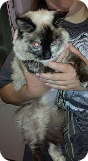 Siamese Cat for adoption in Scottsdale, Arizona - Tinker