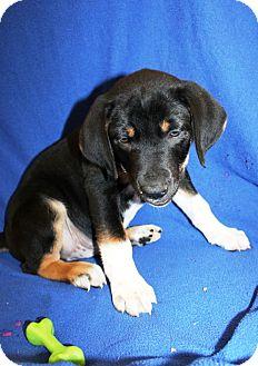 Bloodhound Mix Puppy for adoption in Kalamazoo, Michigan - Levi