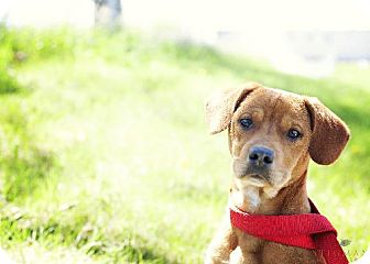 Labrador Retriever/Vizsla Mix Dog for adoption in Detroit Lakes, Minnesota - Temple