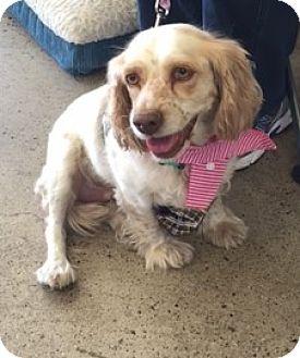 Cocker Spaniel Mix Dog for adoption in Sacramento, California - Cindy