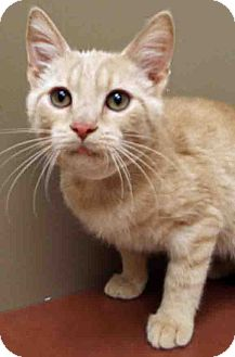 Domestic Shorthair Kitten for adoption in Hinsdale, Illinois - ADOPTED!!!   Milton