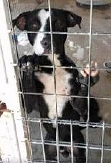 Labrador Retriever Mix Dog for adoption in Odessa, Texas - Oreo