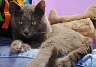 Domestic Shorthair Cat for adoption in Marietta, Georgia - Smoke