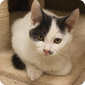 Domestic Shorthair Kitten for adoption in Naperville, Illinois - Manny